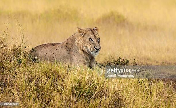 Lioness (Panthera leo) covered with flies, Masai Mara, Kenya