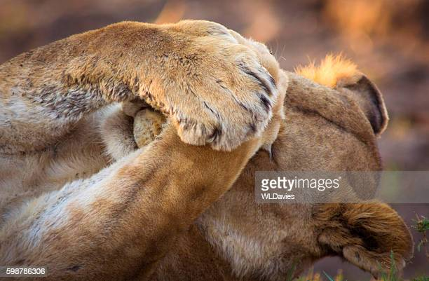 Lioness covering eyes