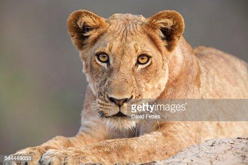 Lioness cub (Panthera leo), Mana Pools, Zimbabwe, Africa.