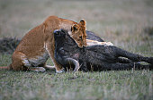 Lioness (Panthera leo) eating wildebeest