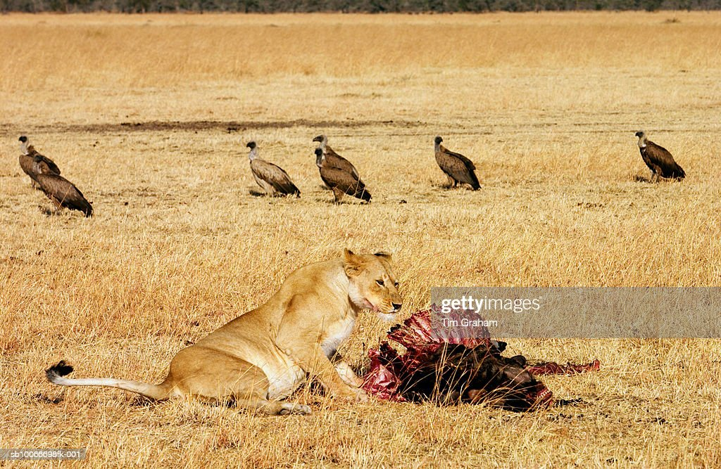Lioness eating wildebeest prey as vultures watch on, Tanzania, East Africa : Stock Photo