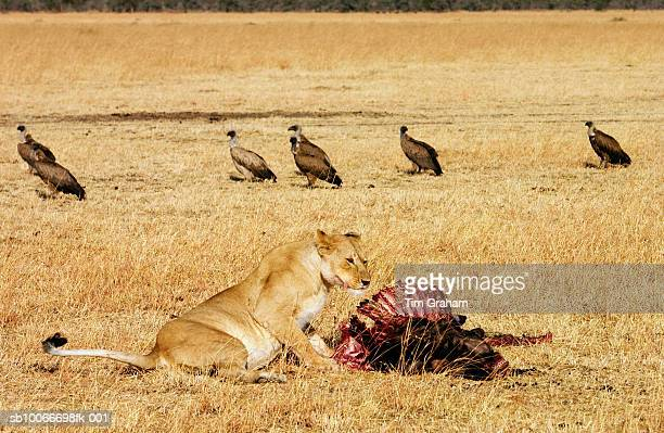 Lioness eating wildebeest prey as vultures watch on, Tanzania, East Africa