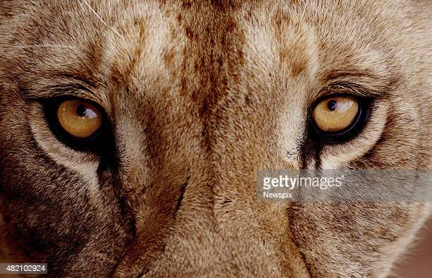 Lioness eyes at Monarto Zoo in Monarto South Australia