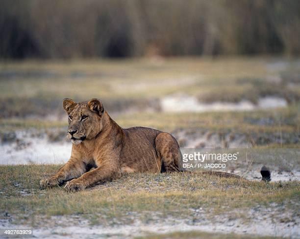 Lioness Felidae Rwindi Virunga National Park Democratic Republic of the Congo