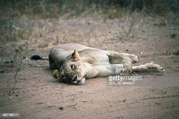 Lioness Felidae Samburu National Park Kenya