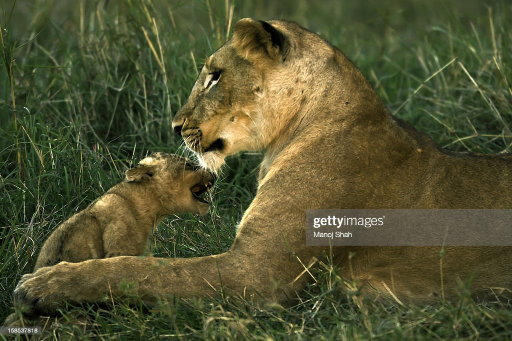 lioness grooming cub : Stock Photo