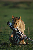 Lioness (Panthera leo) holding a zebra, Masai Mara, Kenya