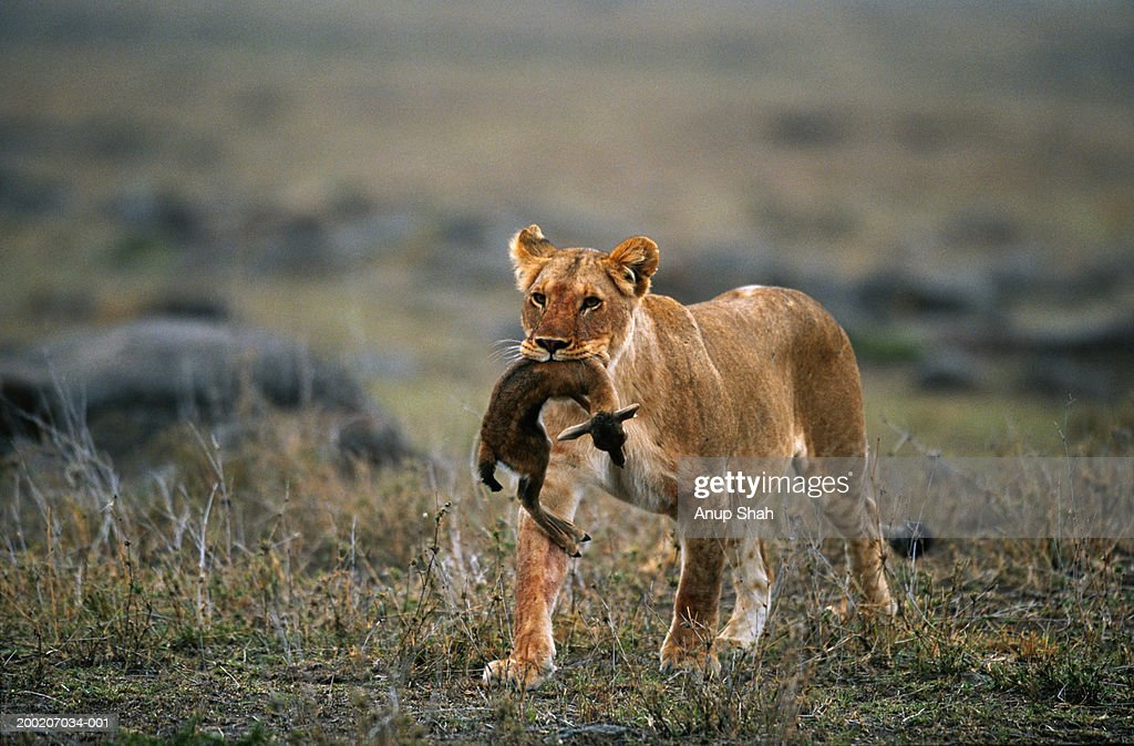 Lioness Front View Lioness Holding Prey I...