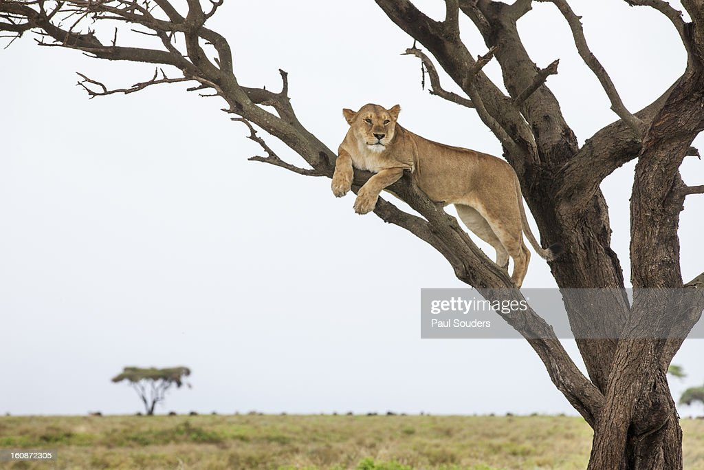 Lioness in Tree, Ngorongoro, Tanzania : Stock Photo