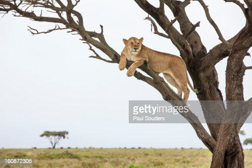 Lioness in Tree, Ngorongoro, Tanzania : Stock Photo