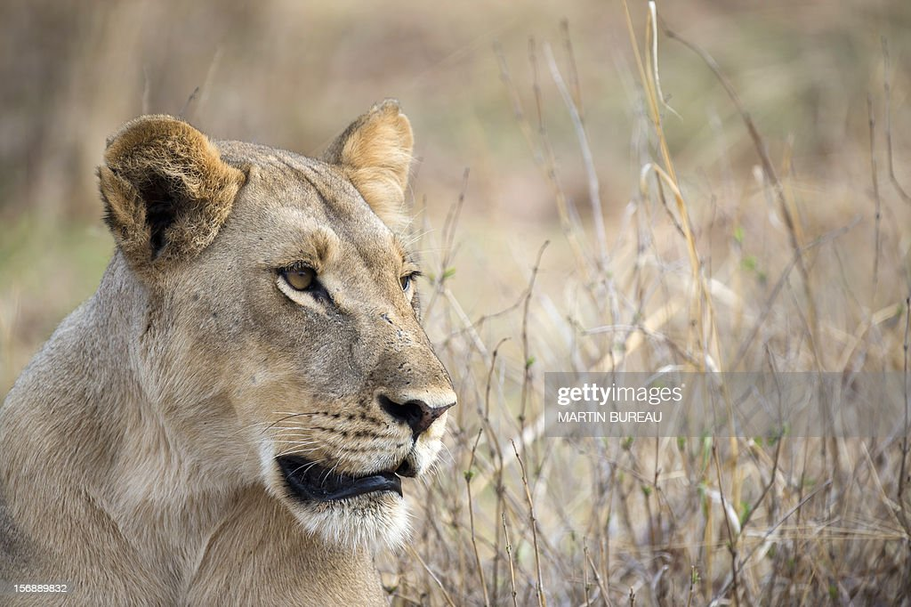 A lioness is pictured on November 18, 2012 in Hwange National Park in Zimbabwe. AFP PHOTO MARTIN BUREAU