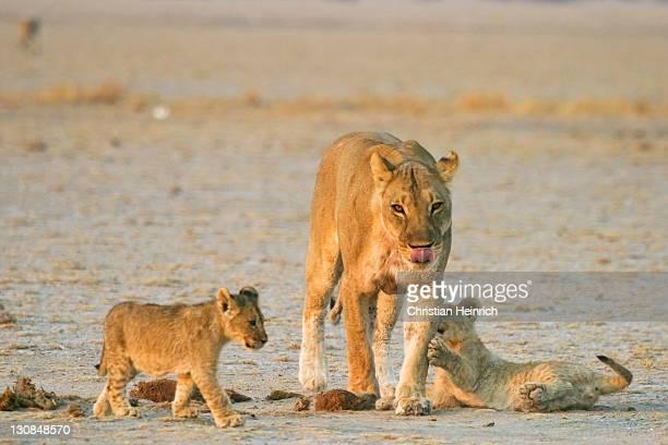 Lioness (Panthera leo) is playing with her cups, Nxai Pan, Makgadikgadi Pans National Park, Botswana, Africa