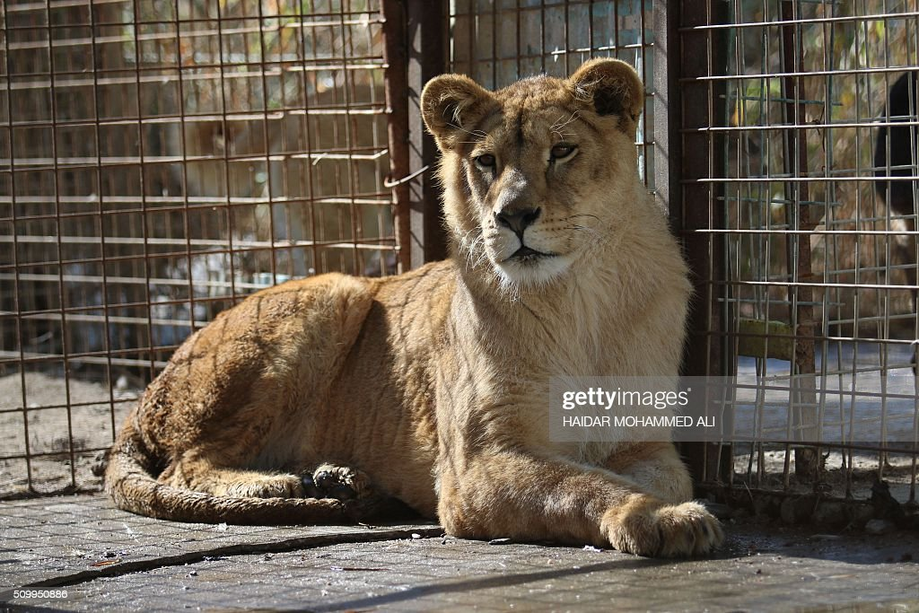 A lioness is seen in a cage at a privately owned zoo in the Iraqi port city of Basra on February 13, 2016. / AFP / HAIDAR MOHAMMED ALI