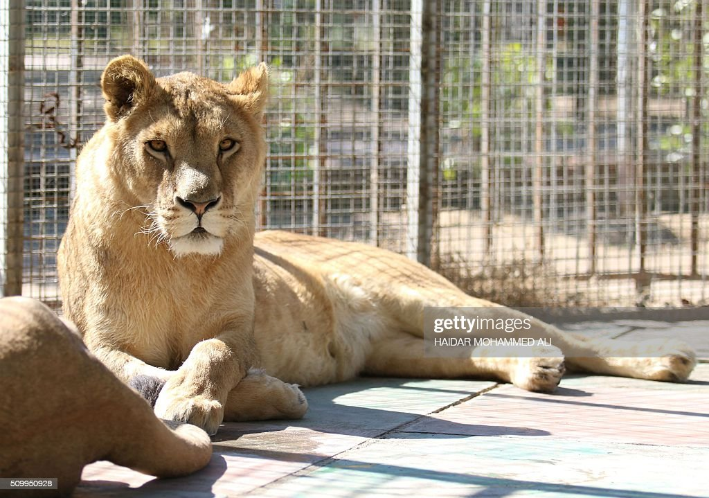 A lioness is seen inside a cage at a privately owned zoo in the Iraqi port city of Basra on February 13, 2016. / AFP / HAIDAR MOHAMMED ALI