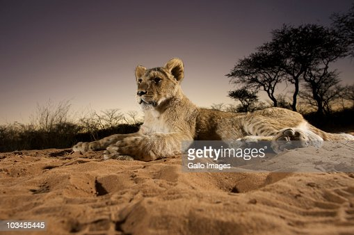 Lioness (Panthera Leo) laying in sand at sunset, Namibia : Bildbanksbilder