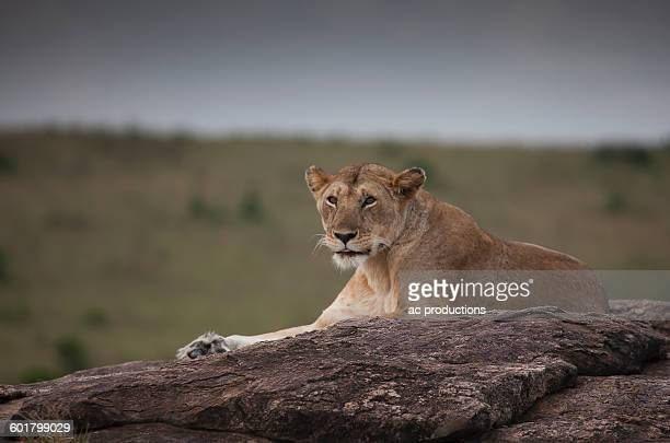 Lioness laying on tree