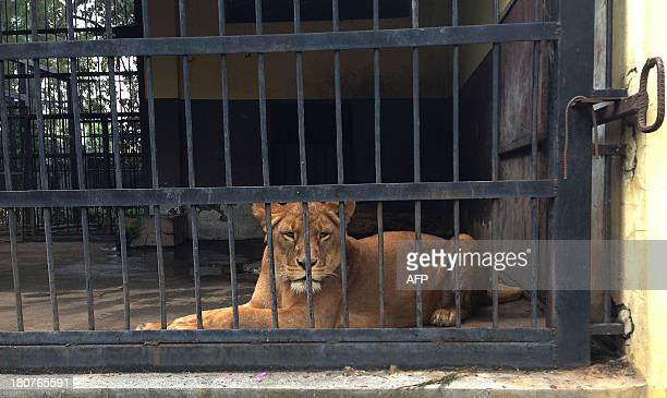 A lioness lays in her cage at the Addis Ababa Zoo Park centre where a zookeeper was killed by a lion on September 16 2013 after he forgot to close...
