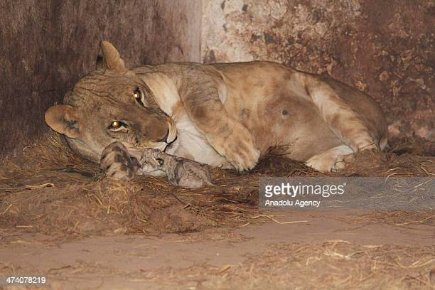A lioness lies in her cage with her newly born cub at a private farmhouse in Islamabad on February 21 2014 The lioness had given birth to two cubs on...