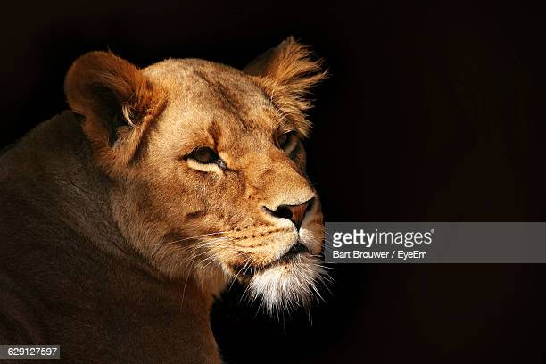 Lioness Looking Away Against Black Background
