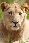 Lioness looking past camera