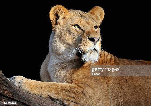 Lioness looking to the right on a log in a black background