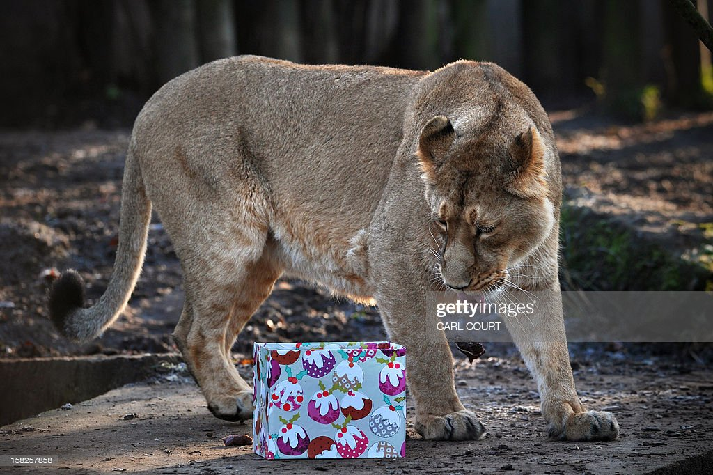 A lioness looks at a 'Christmas gift' during a photocall marking Christmas at the London Zoo in central London on December 12, 2012.