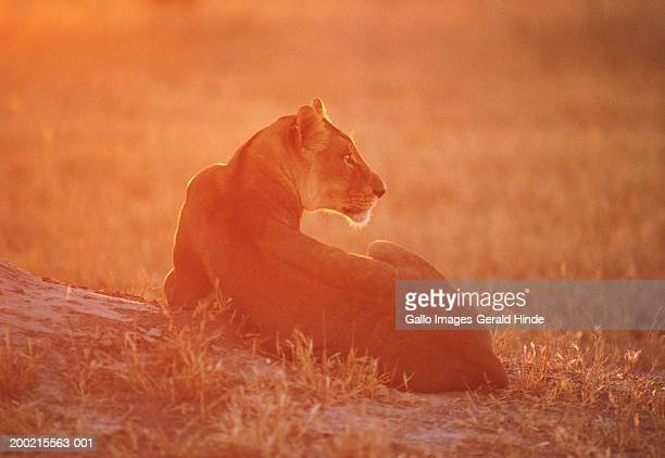 Lioness (Panthera leo) lying in field, sunset