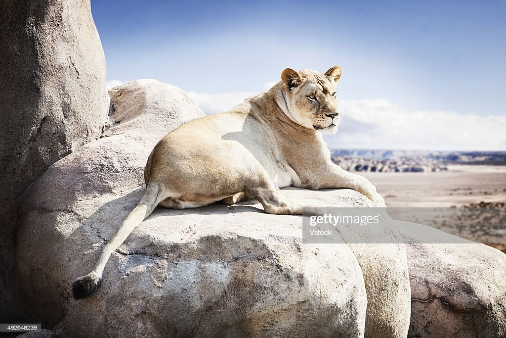 Lioness lying on rock : Stock Photo
