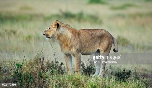 Lioness, Masai Mara