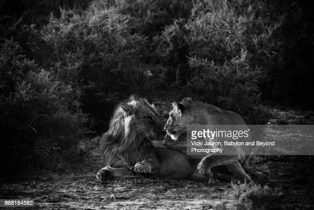 Lioness Moving Toward Her Mate in Samburu, Kenya