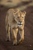 Lioness on a stroll in Tanzania