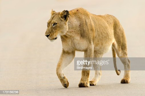 Lioness on Road - South Africa
