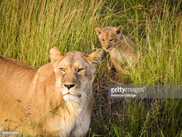 Lioness on the African Plains