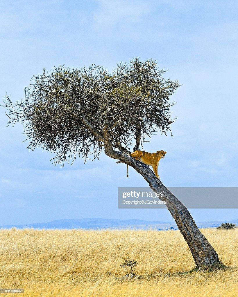 Lioness on tree : Stock Photo