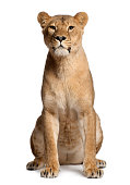 Lioness, Panthera leo, 3 years old, sitting in front of white background