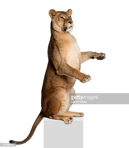 Lioness - Panthera leo (3 years old)