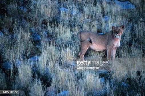Lioness : Photo
