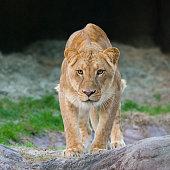 Lion on the hunt.