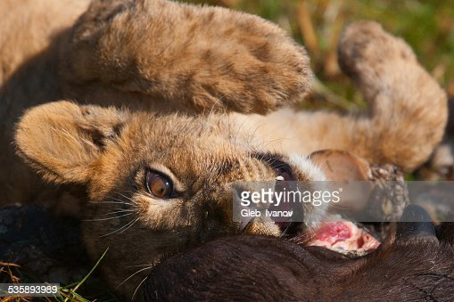 Lioness : Stockfoto