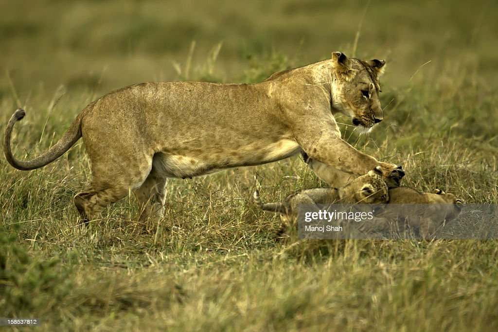 Lioness playing with cubs : Stock Photo