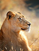 Lioness female (Panthera leo) profile view closeup - Kruger National Park (South Africa)