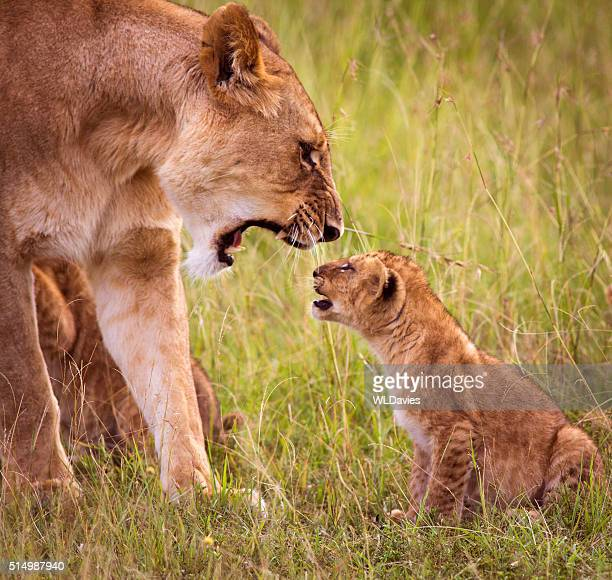 Lioness roaring at young cub