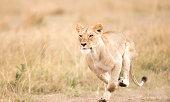 A Lioness sprinting over grassland . Taken on the Masai Mara, Kenya .