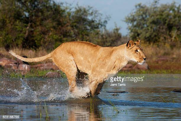 A lioness running through the water