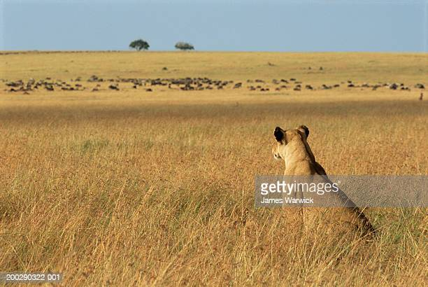 Lioness (Panthera leo) sitting in long grass, rear view, watching prey