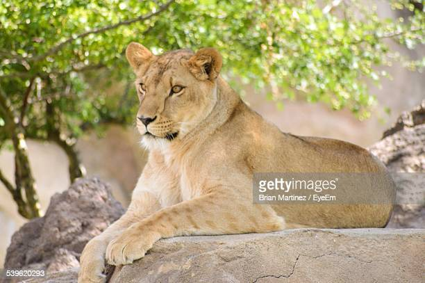 Lioness Sitting On Rock Outdoors