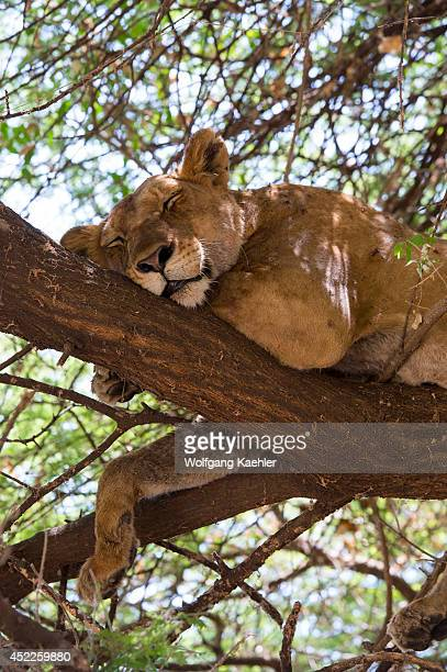 Lioness sleeping in tree in Lake Manyara National Park in Tanzania