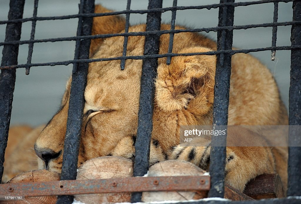 A lioness sleeps inside a cage at the public zoo in the Russia's second city of Saint-Petersburg, on December 7, 2012. AFP PHOTO / OLGA MALTSEVA