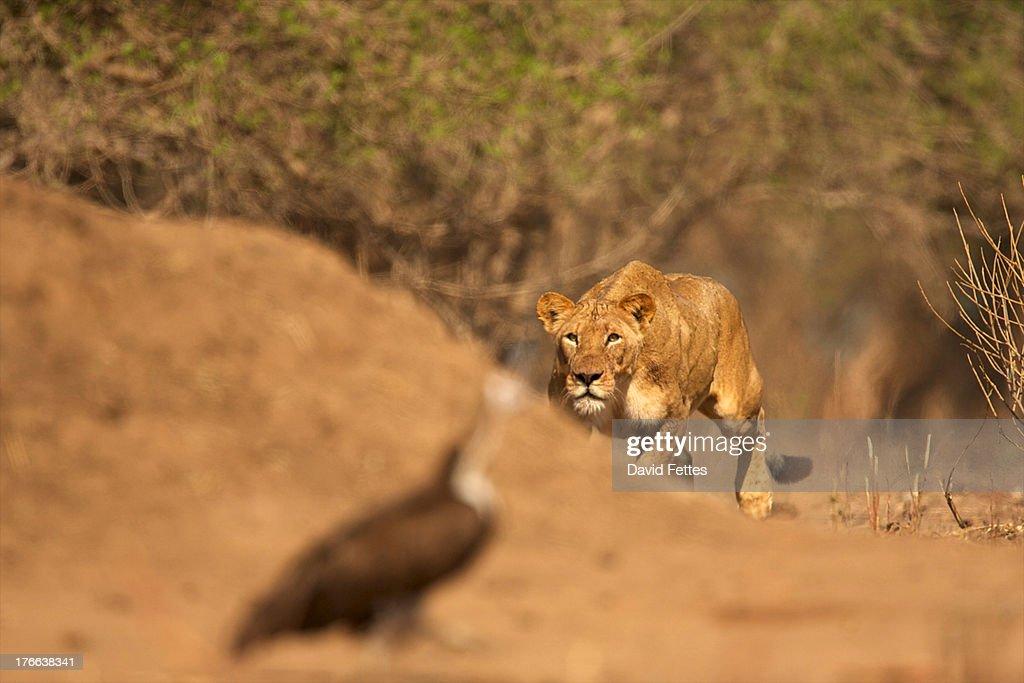 Lioness stalking bird, Mana Pools National Park, Zimbabwe, Africa