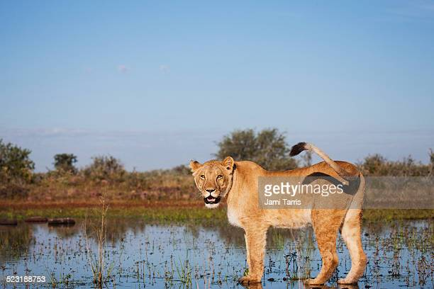 A lioness standing in the water